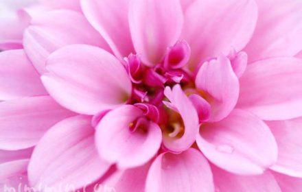 ダリア(ピンク)の花の写真 花言葉