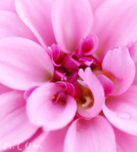 ダリアの花言葉(色別)・ダリアの花の写真