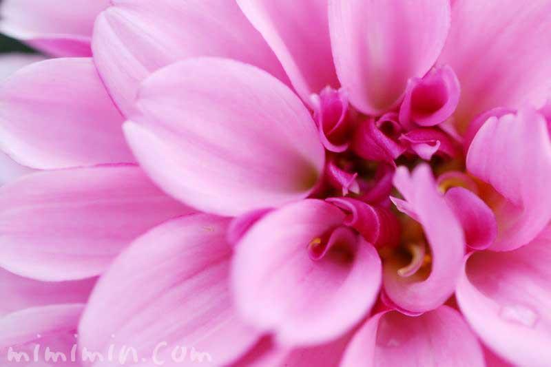 ダリア(ピンク)の花の写真と花言葉の画像