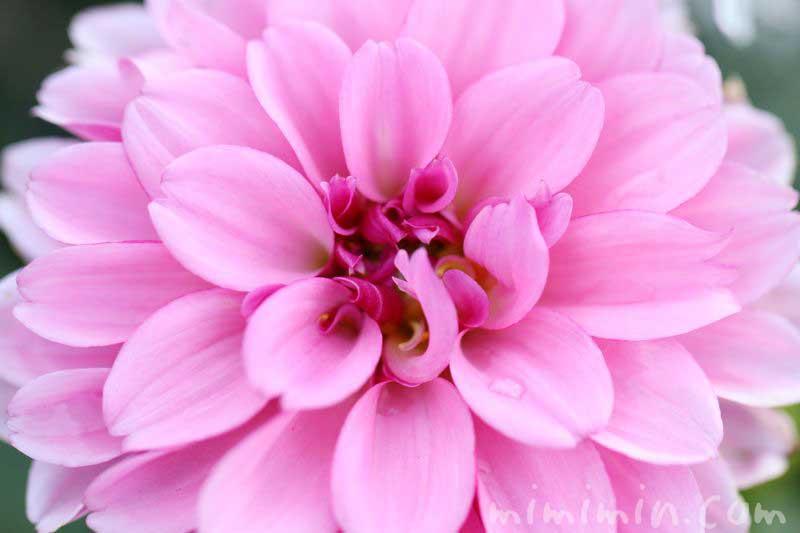 ダリアの花の写真と花言葉