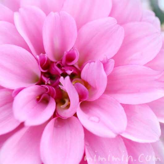 ダリア(ピンク)の写真と花言葉の画像