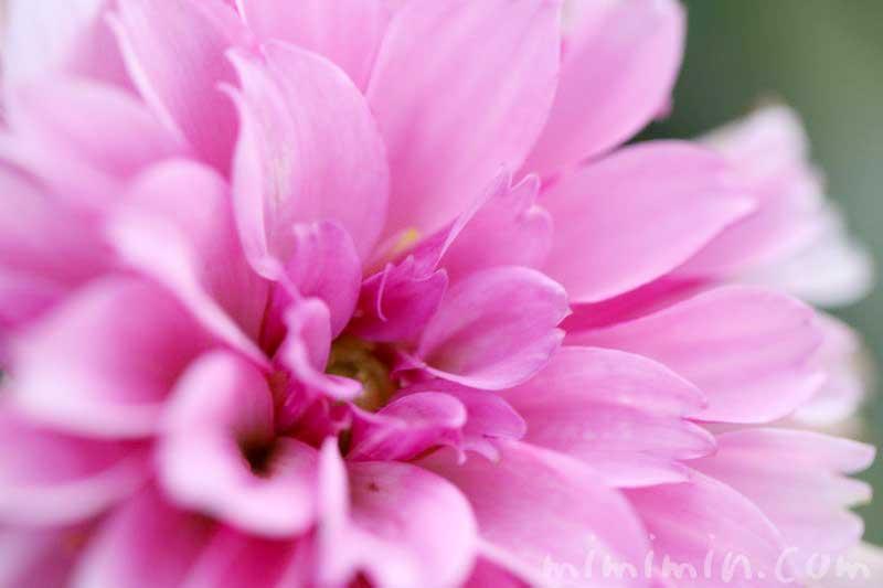 ダリアの花の写真 花言葉の画像