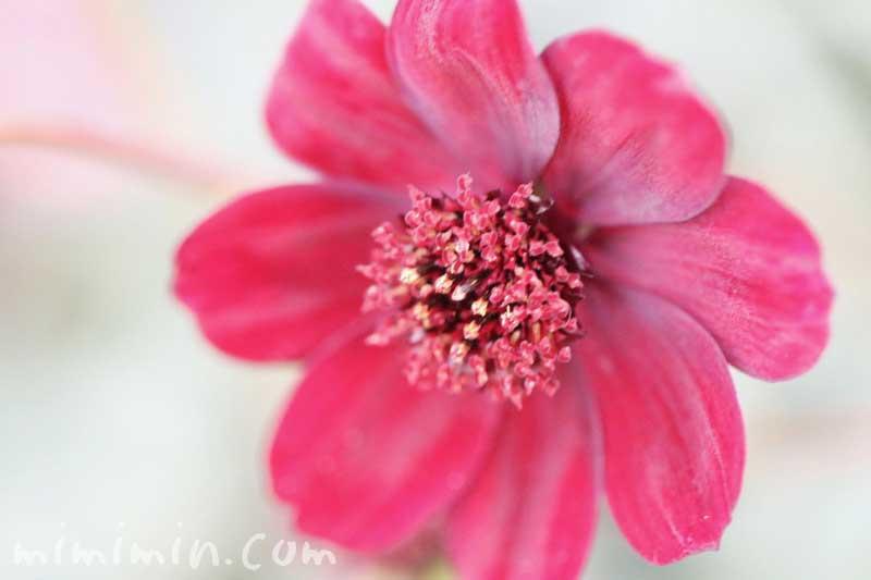 チョコレートコスモスの写真・花言葉の画像