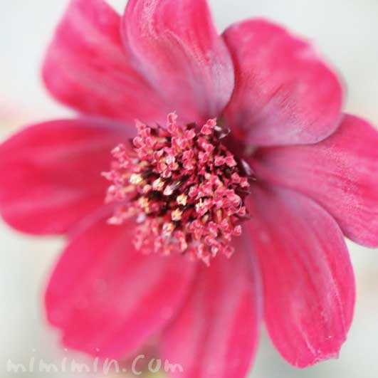 チョコレートコスモスの花の写真・花言葉の画像