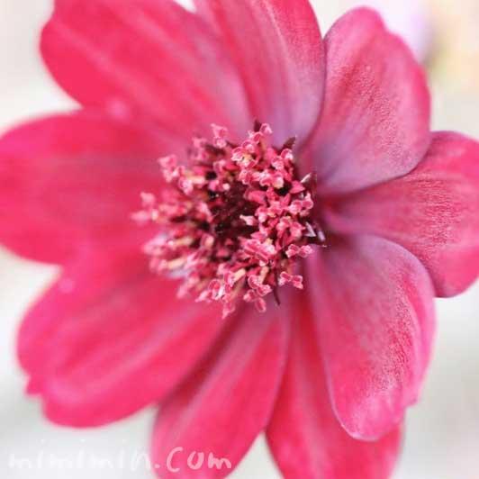 チョコレートコスモスの花の写真と花言葉