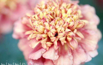 マリーゴールド(ストロベリーブロンド)の花の画像