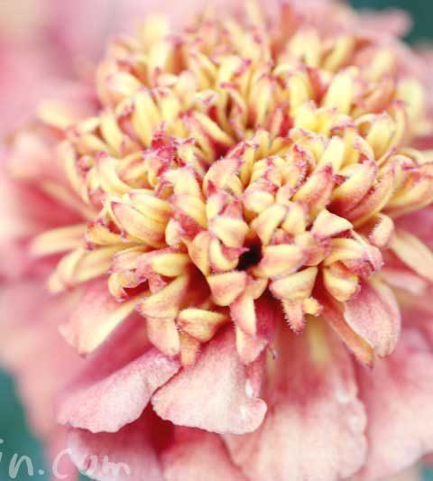 マリーゴールドの効能・花言葉|マリーゴールドの花の写真
