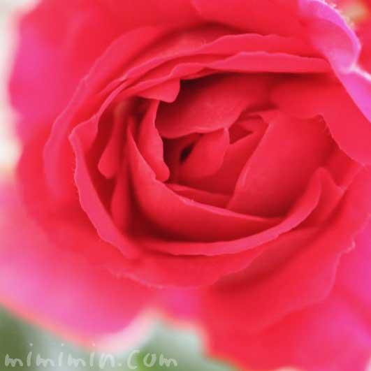赤いバラの写真・花言葉の画像