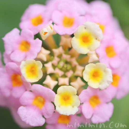 ランタナ(ピンク)の花の写真・花言葉・毒性の画像