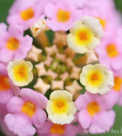 ランタナ|花の写真・花言葉・毒性