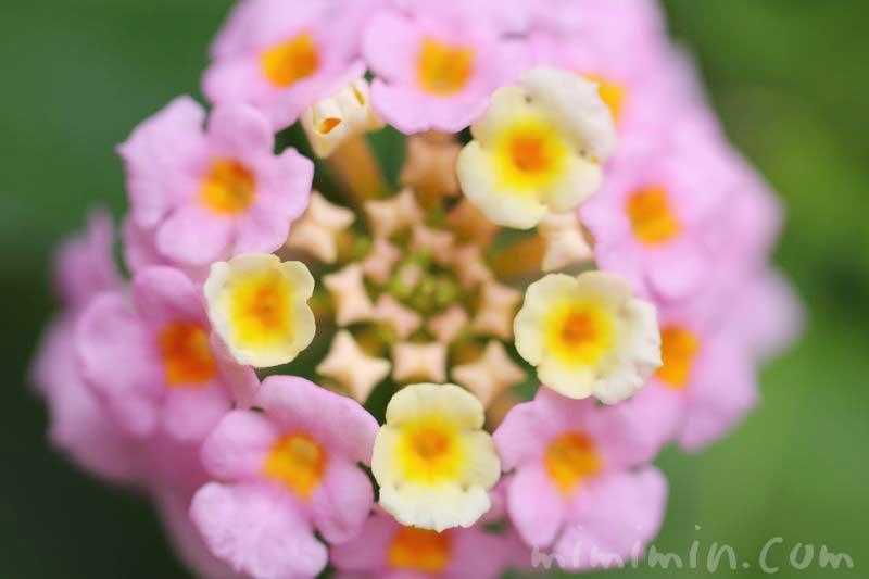 ランタナの花の写真・花言葉・毒性の画像