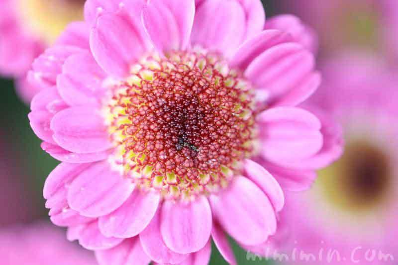 コギクの花・ピンク色の画像