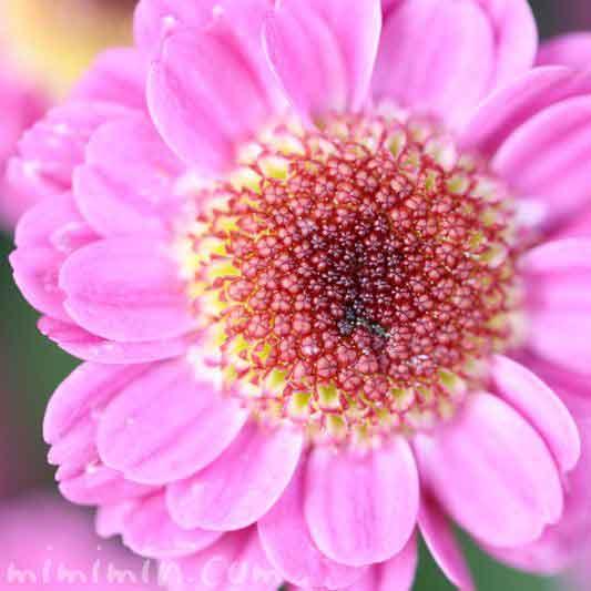 コギクの花の画像・ピンク色