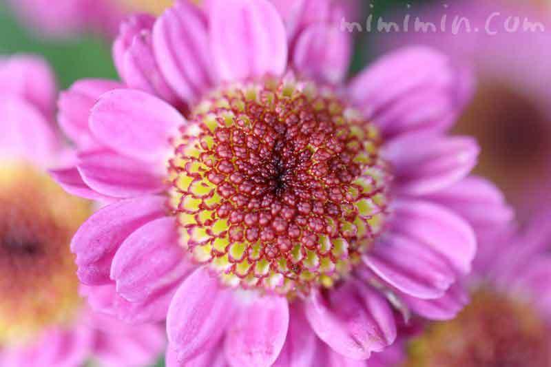 小菊・ピンクの画像