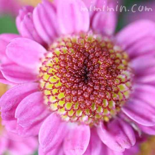コギクの花言葉の写真