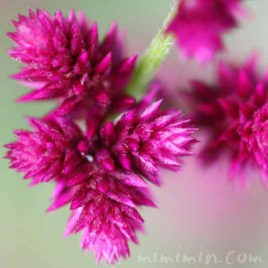 センニチコボウの花の写真