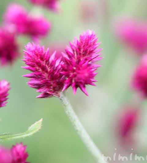 センニチコボウ(千日小坊)の花の写真・花言葉