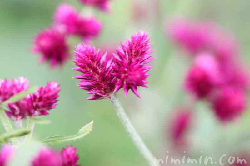 千日小坊の花の写真