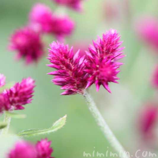 アルテルナンテラ・ポリゲンスの花の画像