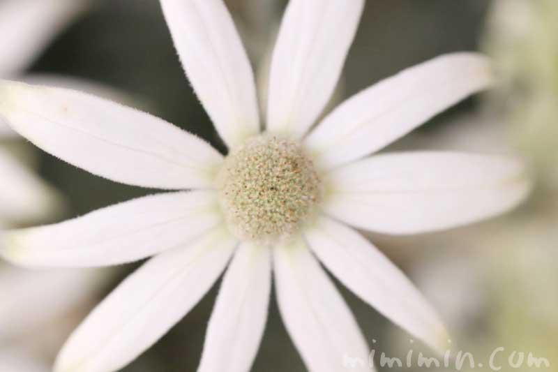 フランネルフラワーの写真と花言葉の画像
