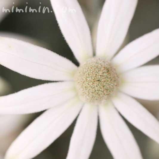 フランネルフラワーの花の写真・花言葉