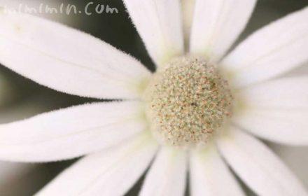 フランネルフラワーの花の写真と花言葉の画像