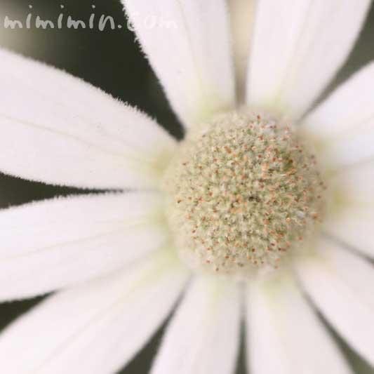 フランネルフラワーの写真・花言葉