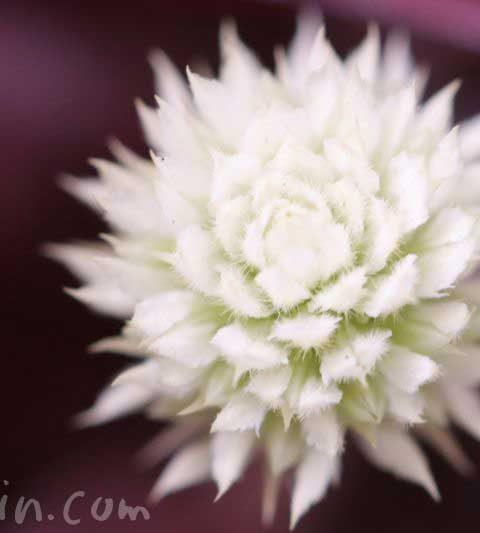 アカバセンニチコウ(赤葉千日紅)の花の写真・花言葉