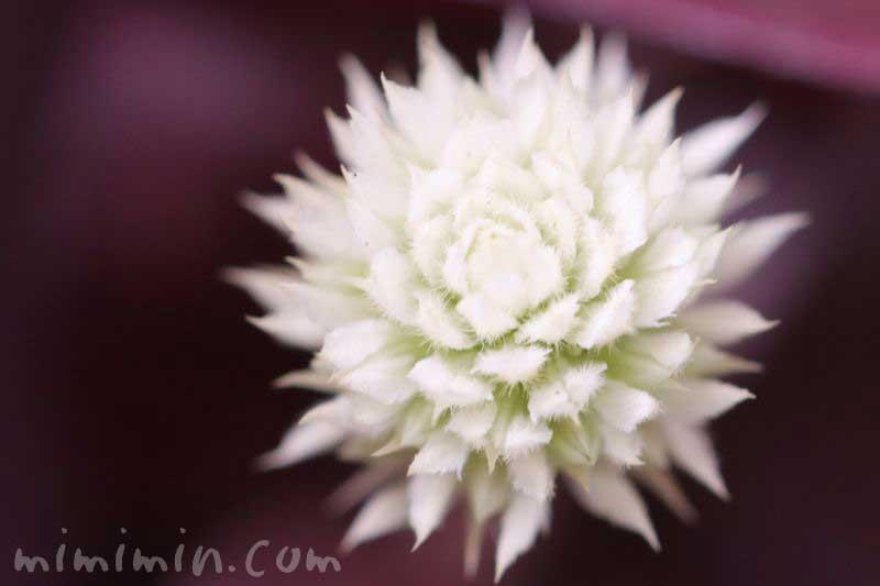 アカバセンニチコウの花の写真
