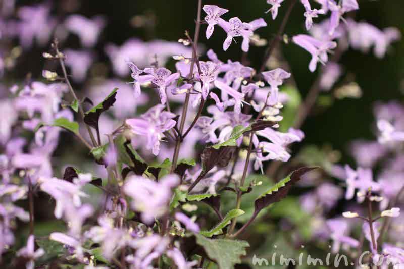 プレクトランサスの花の写真