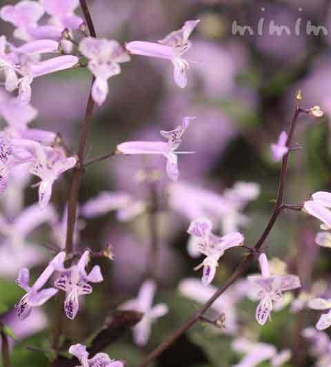 プレクトランサス(モナラベンダー)の花の写真・花言葉・名前の由来