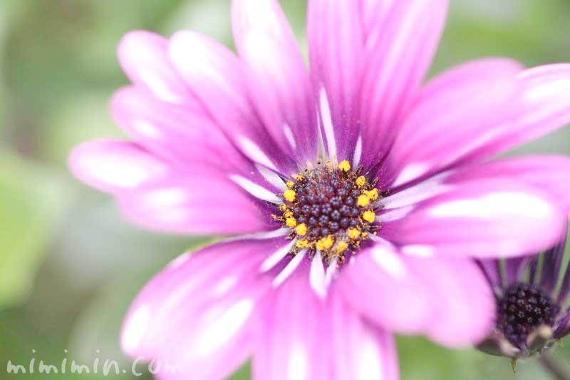 オステオスペルマムの写真&花言葉の画像
