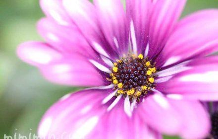 オステオスペルマム(花の写真&花言葉)の画像