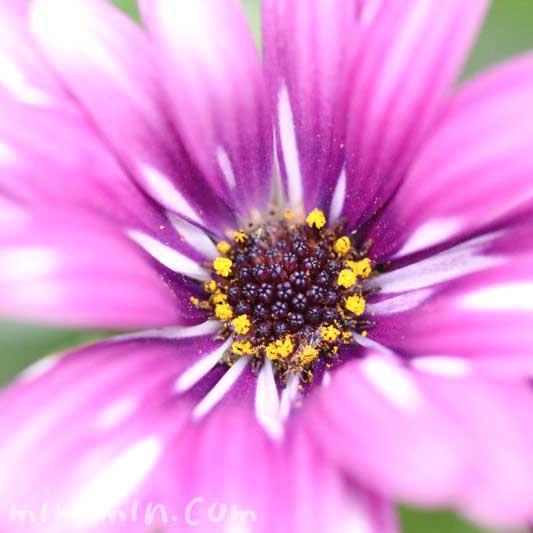 オステオスペルマムの花の写真&花言葉