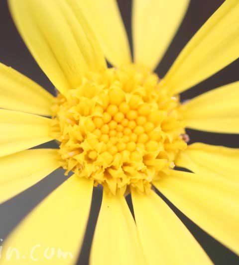 ユリオプスデージーの花言葉・名前の由来・誕生花
