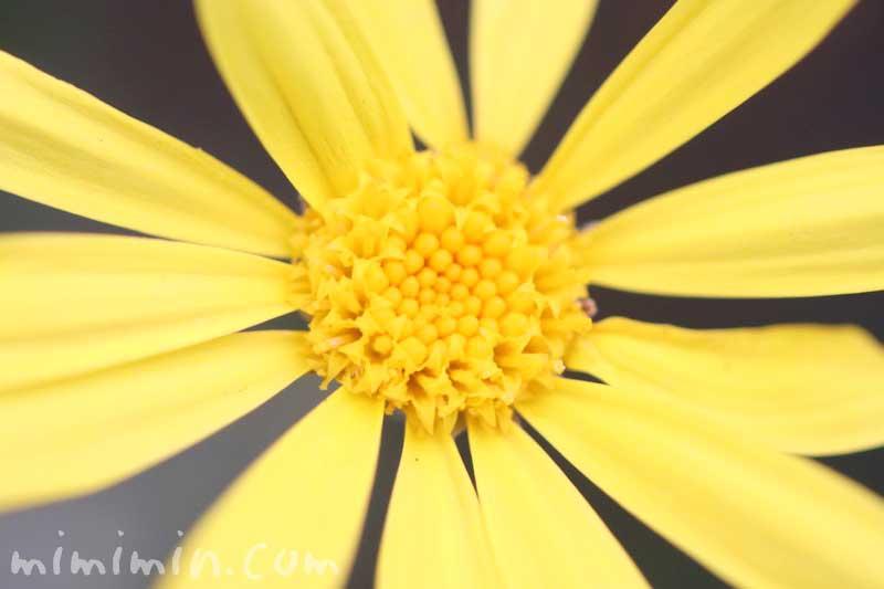 ユリオプスデージーの写真・花言葉・誕生花の画像