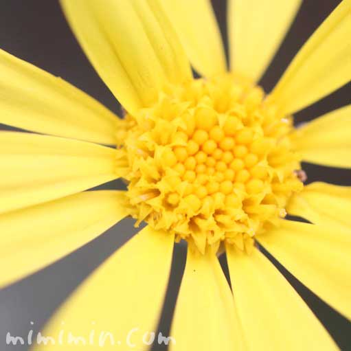 ユリオプスデージーの花の写真・花言葉・誕生花の画像