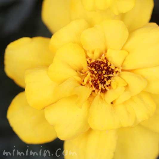 黄色のマリーゴールドの写真&花言葉の画像
