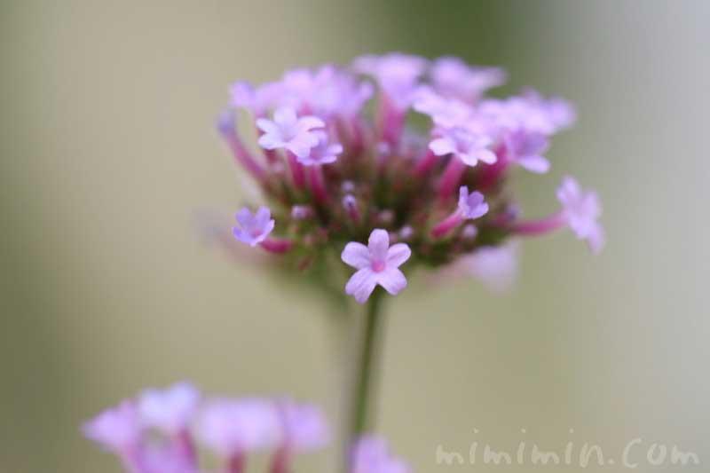 三尺バーベナの花の写真・花言葉と誕生花
