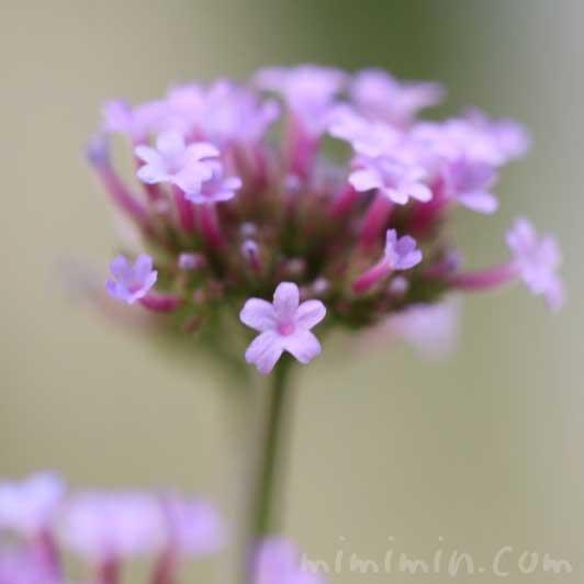 三尺バーベナの花の写真・誕生花の画像