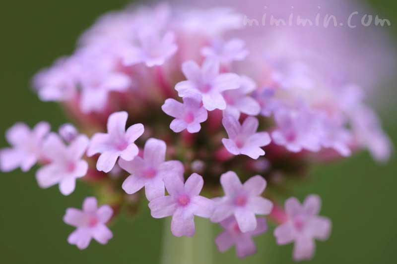 三尺バーベナの花の写真・花言葉・誕生花の画像