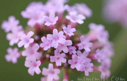 三尺バーベナの花言葉と誕生花