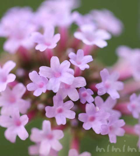 三尺バーベナ(バーベナ・ボナリエンシス)の花言葉・誕生花