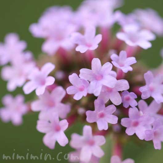 三尺バーベナの写真・花言葉と誕生花