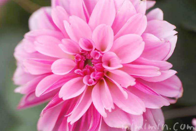 ダリアの花言葉(色別)と写真画像