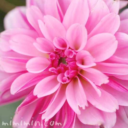 ダリアの花言葉(色別)・花の写真の画像