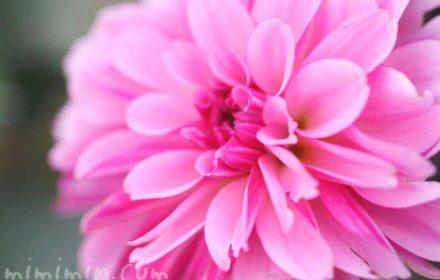 ダリアの花言葉(色別)・写真