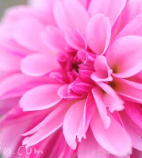 ダリアの花言葉(色別)・花言葉の由来・花の写真