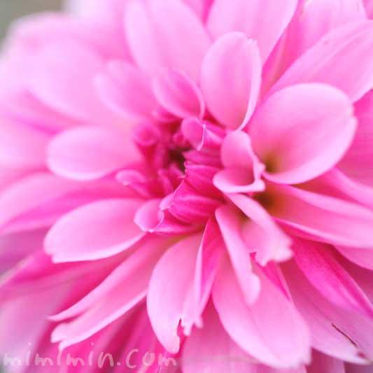 ダリアの花言葉(色別)と花の写真