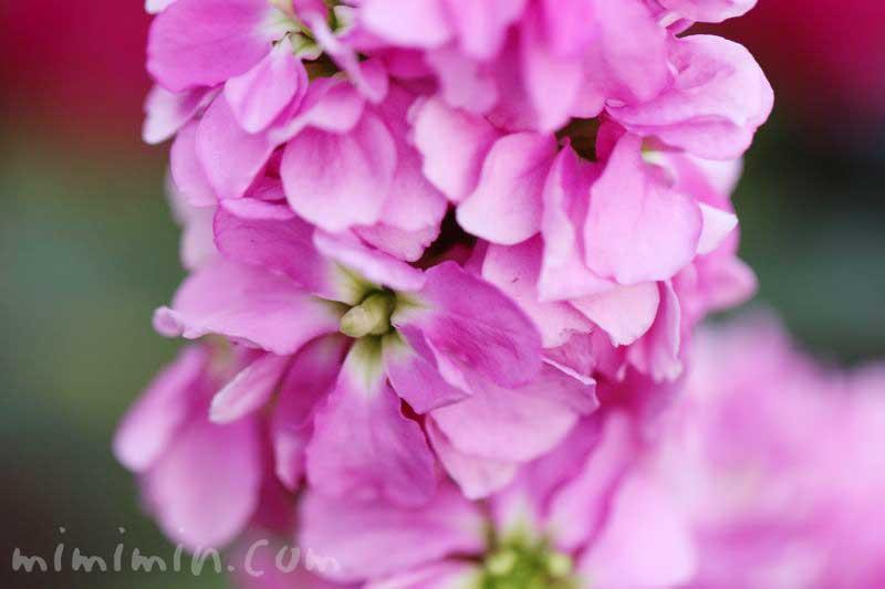 ストックの花言葉・ピンクのストック